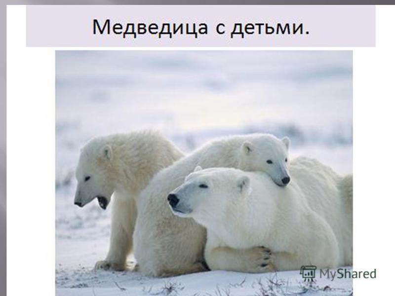 Самый крупный из медведей, длиной до 3 метров, масса до 1 тонны. В спячку не впадает. В снежную берлогу, устроенную под скалами, залегает только самка, готовящаяся стать мамой. Численность белого медведя сокращена, он находится под охраной. Самый кру