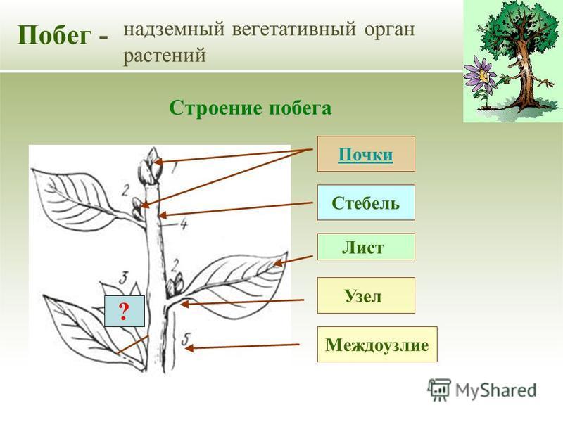 Побег - надземный вегетативный орган растений Стебель Лист Почки Строение побега Междоузлие Узел ?