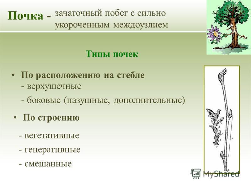 По расположению на стебле Почка - зачаточный побег с сильно укороченным междоузлием Типы почек По строению - верхушечные - боковые (пазушные, дополнительные) - вегетативные - генеративные - смешанные
