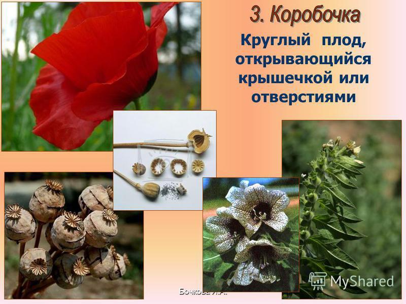 Бочкова И.А. Круглый плод, открывающийся крышечкой или отверстиями