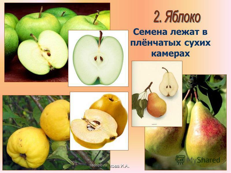 Бочкова И.А. Семена лежат в плёнчатых сухих камерах