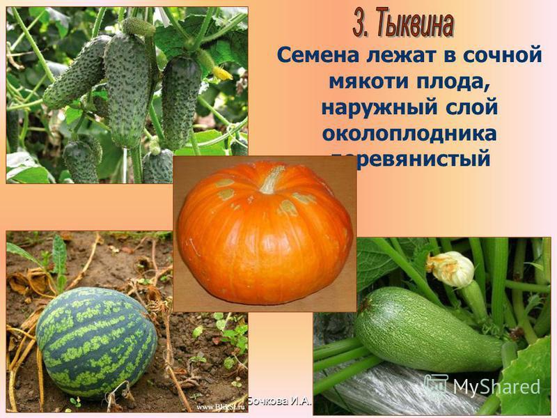 Бочкова И.А. Семена лежат в сочной мякоти плода, наружный слой околоплодника деревянистый