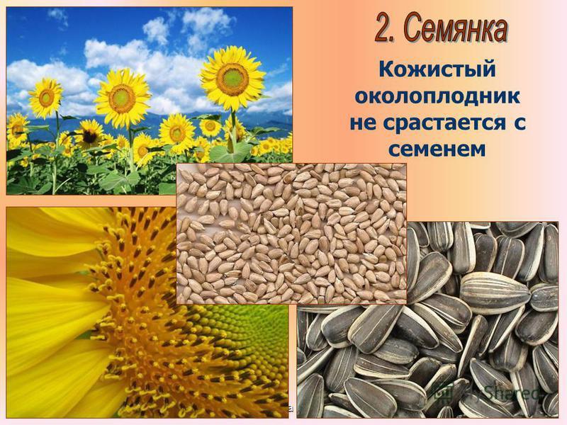 Бочкова И.А. Кожистый околоплодник не срастается с семенем