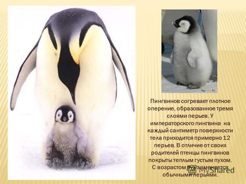 Пингвинов согревает плотное оперение, образованное тремя слоями перьев. У императорского пингвина на каждый сантиметр поверхности тела приходится примерно 12 перьев. В отличие от своих родителей птенцы пингвинов покрыты теплым густым пухом. С возраст