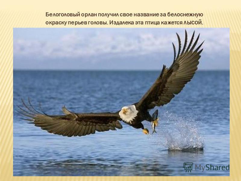 Белоголовый орлан получил свое название за белоснежную окраску перьев головы. Издалека эта птица кажется лысой.