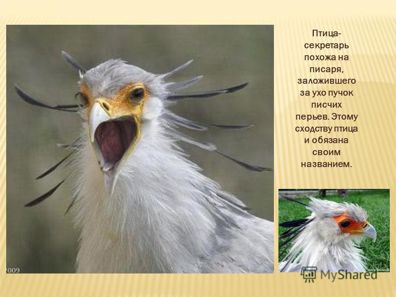 Птица- секретарь похожа на писаря, заложившего за ухо пучок писчих перьев. Этому сходству птица и обязана своим названием.