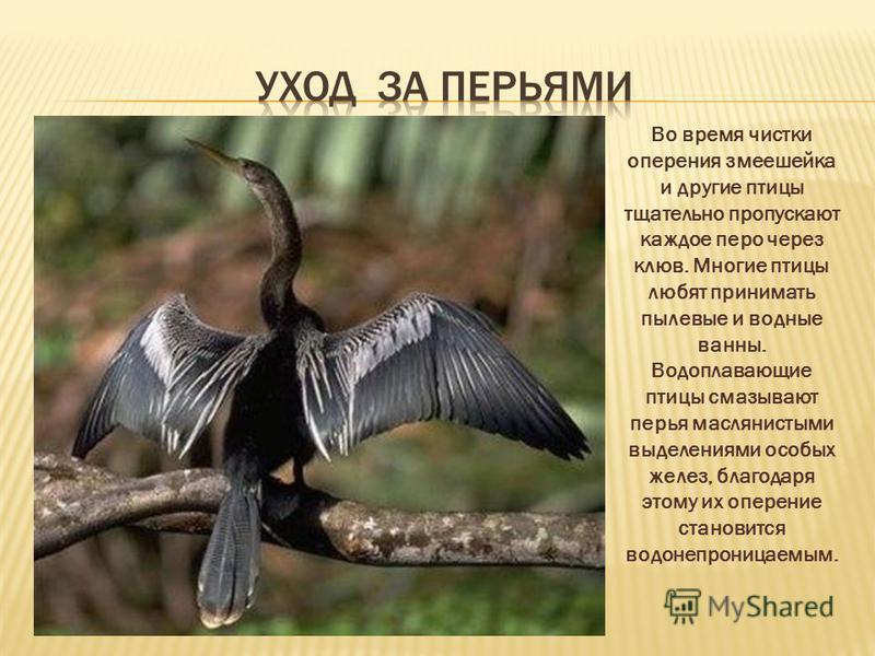 Во время чистки оперения змеешейка и другие птицы тщательно пропускают каждое перо через клюв. Многие птицы любят принимать пылевые и водные ванны. Водоплавающие птицы смазывают перья маслянистыми выделениями особых желез, благодаря этому их оперение