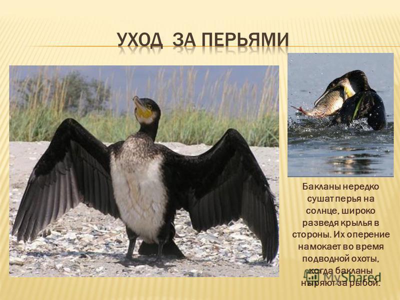 Бакланы нередко сушат перья на солнце, широко разведя крылья в стороны. Их оперение намокает во время подводной охоты, когда бакланы ныряют за рыбой.