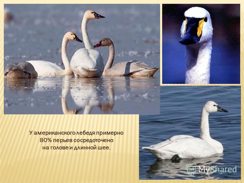 У американского лебедя примерно 80% перьев сосредоточено на голове и длинной шее.