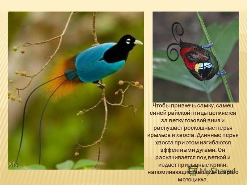 Чтобы привлечь самку, самец синей райской птицы цепляется за ветку головой вниз и распушает роскошные перья крыльев и хвоста. Длинные перья хвоста при этом изгибаются эффектными дугами. Он раскачивается под веткой и издает призывные крики, напоминающ