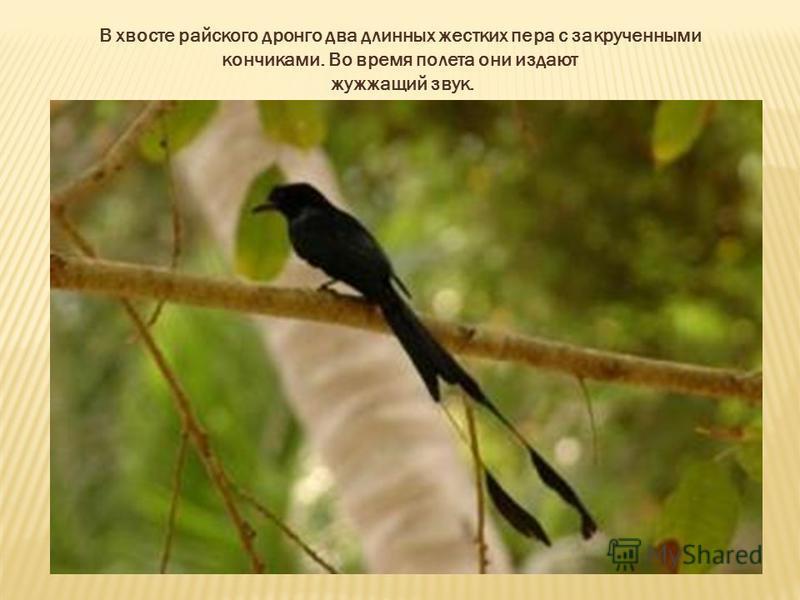 В хвосте райского дронго два длинных жестких пера с закрученными кончиками. Во время полета они издают жужжащий звук.