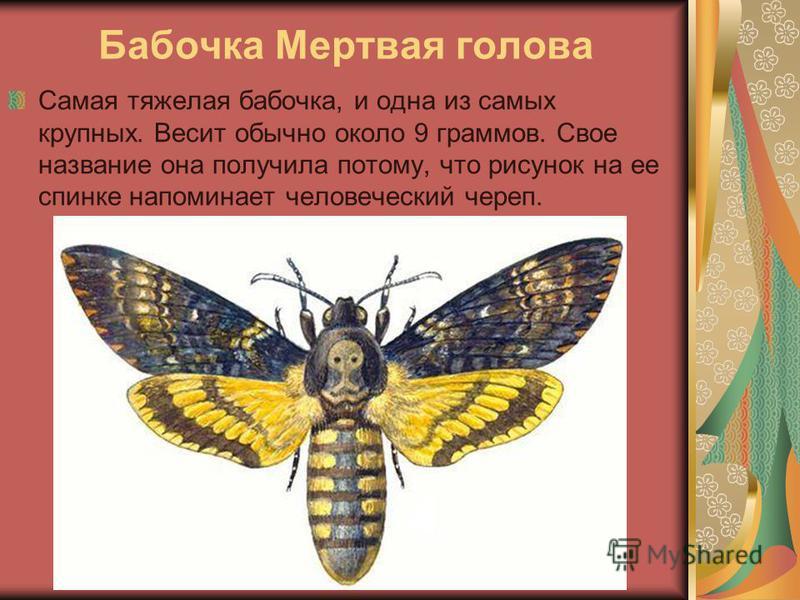 Бабочка Мертвая голова Самая тяжелая бабочка, и одна из самых крупных. Весит обычно около 9 граммов. Свое название она получила потому, что рисунок на ее спинке напоминает человеческий череп.
