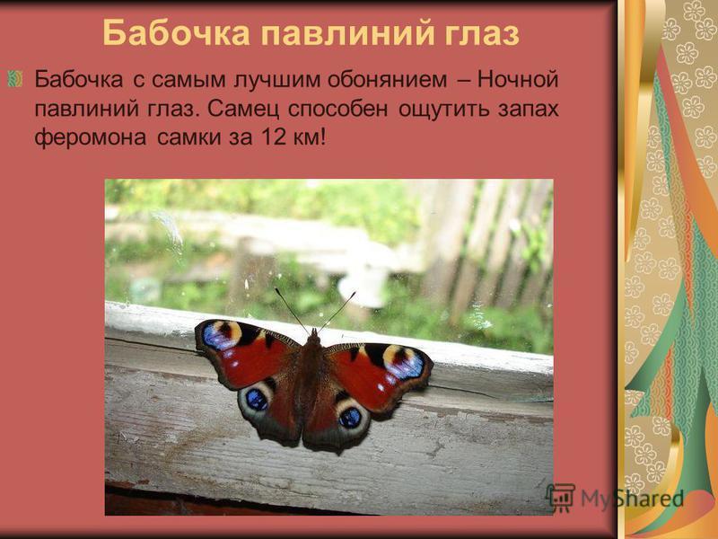 Бабочка павлиний глаз Бабочка с самым лучшим обонянием – Ночной павлиний глаз. Самец способен ощутить запах феромона самки за 12 км!