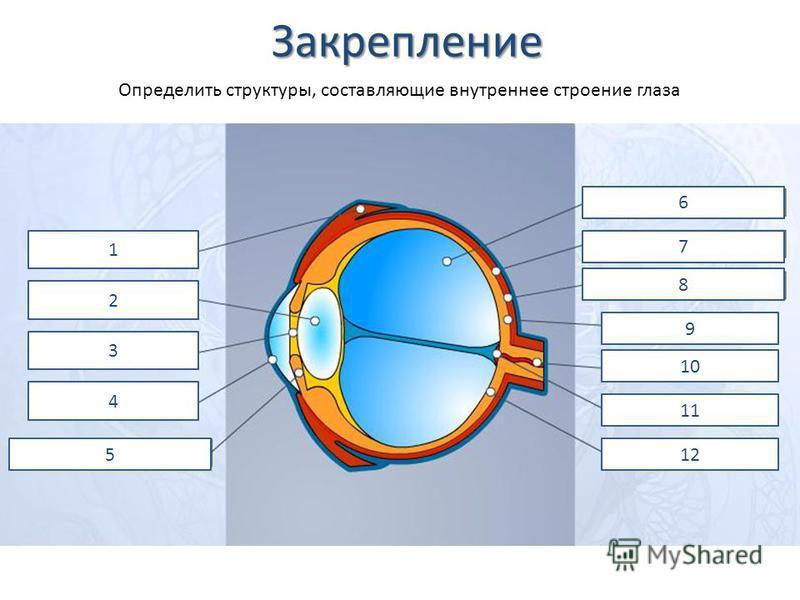 Закрепление 1 2 3 4 5 6 7 8 9 10 11 12 Определить структуры, составляющие внутреннее строение глаза
