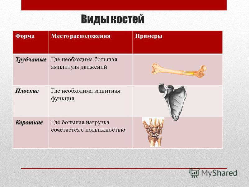 Виды костей Форма Место расположения Примеры Трубчатые Где необходима большая амплитуда движений Плоские Где необходима защитная функция Короткие Где большая нагрузка сочетается с подвижностью