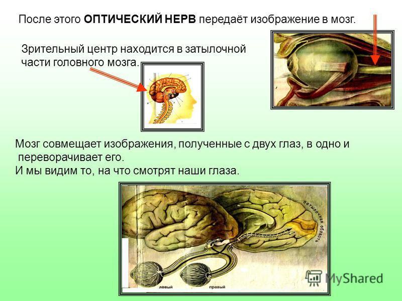 После этого ОПТИЧЕСКИЙ НЕРВ передаёт изображение в мозг. Зрительный центр находится в затылочной части головного мозга. Мозг совмещает изображения, полученные с двух глаз, в одно и переворачивает его. И мы видим то, на что смотрят наши глаза.