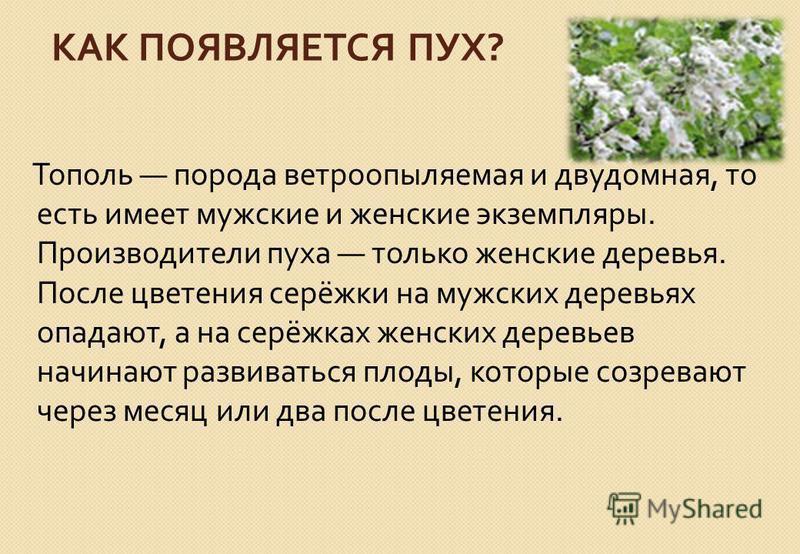 КАК ПОЯВЛЯЕТСЯ ПУХ ? Тополь порода ветроопыляемая и двудомная, то есть имеет мужские и женские экземпляры. Производители пуха только женские деревья. После цветения серёжки на мужских деревьях опадают, а на серёжках женских деревьев начинают развиват