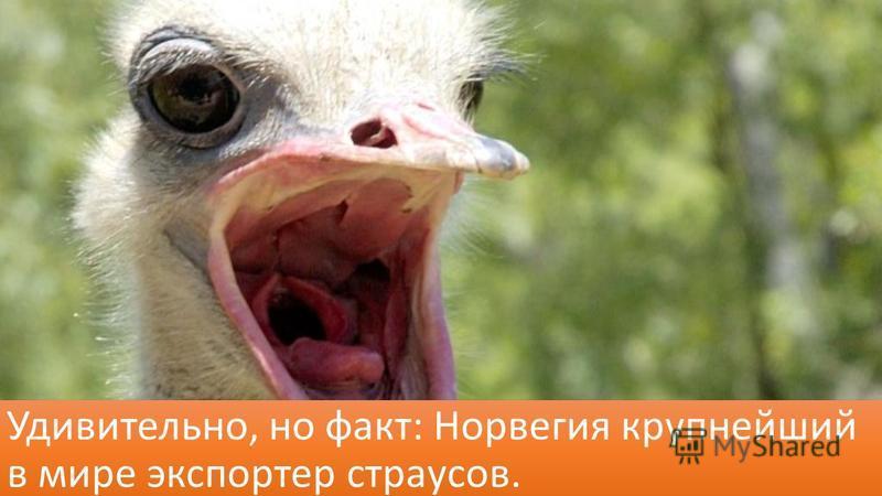 Удивительно, но факт: Норвегия крупнейший в мире экспортер страусов.