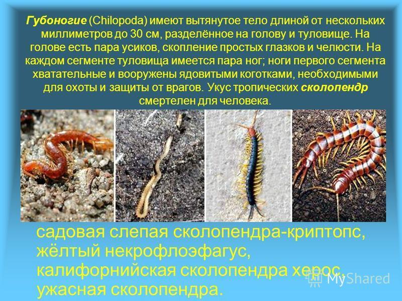 Губоногие (Chilopoda) имеют вытянутое тело длиной от нескольких миллиметров до 30 см, разделённое на голову и туловище. На голове есть пара усиков, скопление простых глазков и челюсти. На каждом сегменте туловища имеется пара ног; ноги первого сегмен