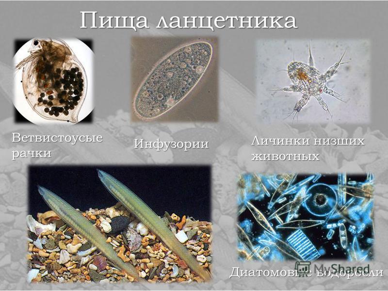 Пища ланцетника Ветвистоусые рачки Инфузории Личинки низших животных Диатомовые водоросли