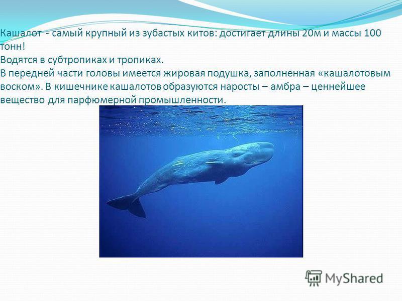 Кашалот - самый крупный из зубастых китов: достигает длины 20 м и массы 100 тонн! Водятся в субтропиках и тропиках. В передней части головы имеется жировая подушка, заполненная «кашалотовым воском». В кишечнике кашалотов образуются наросты – амбра –