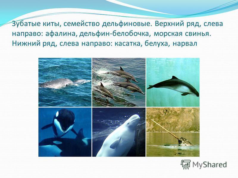 Зубатые киты, семейство дельфиновые. Верхний ряд, слева направо: афалина, дельфин-белобочка, морская свинья. Нижний ряд, слева направо: касатка, белуха, нарвал