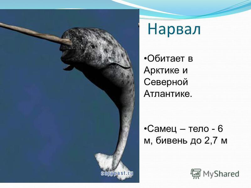Нарвал Обитает в Арктике и Северной Атлантике. Самец – тело - 6 м, бивень до 2,7 м
