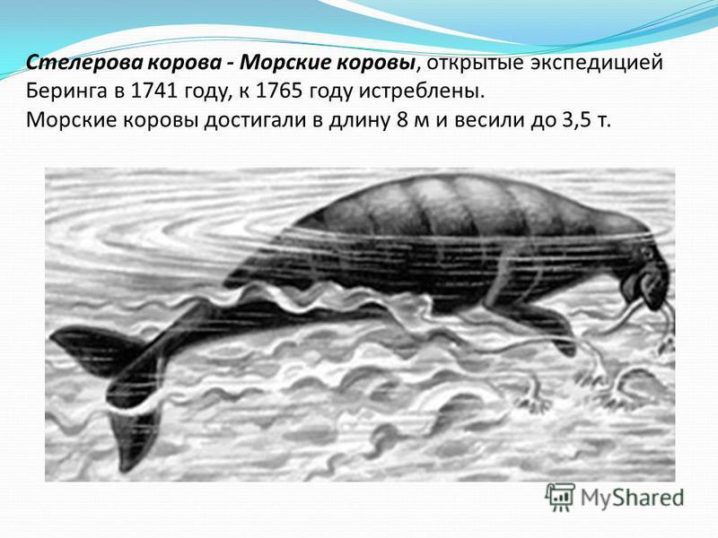 Стелерова корова - Морские коровы, открытые экспедицией Беринга в 1741 году, к 1765 году истреблены. Морские коровы достигали в длину 8 м и весили до 3,5 т.