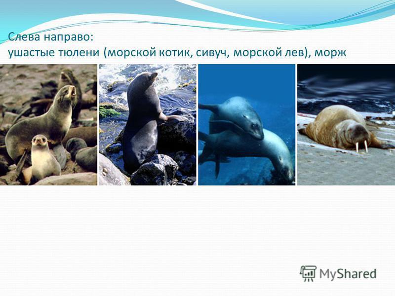 Слева направо: ушастые тюлени (морской котик, сивуч, морской лев), морж