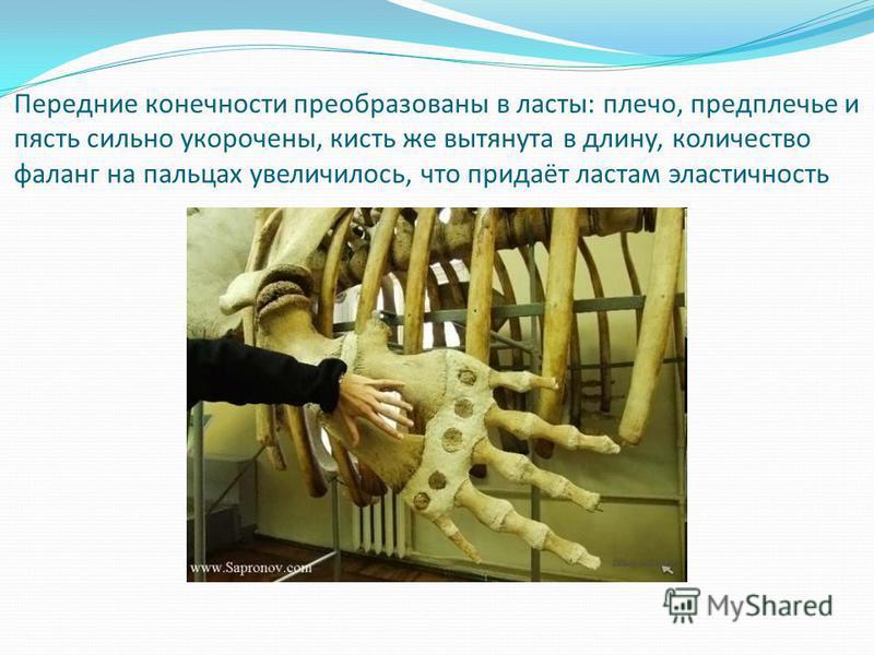 Передние конечности преобразованы в ласты: плечо, предплечье и пясть сильно укорочены, кисть же вытянута в длину, количество фаланг на пальцах увеличилось, что придаёт ластам эластичность