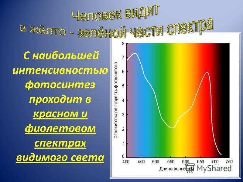 С наибольшей интенсивностью фотосинтез проходит в красном и фиолетовом спектрах видимого света