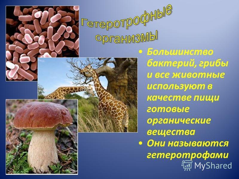 Большинство бактерий, грибы и все животные используют в качестве пищи готовые органические вещества Они называются гетеротрофами