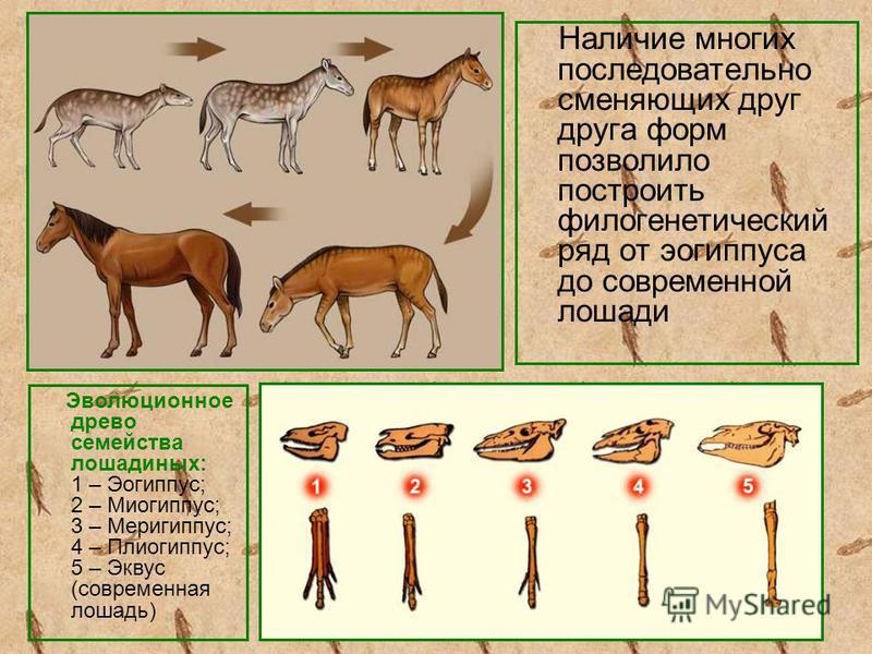Наличие многих последовательно сменяющих друг друга форм позволило построить филогенетический ряд от эогиппуса до современной лошади Эволюционное древо семейства лошадиных: 1 – Эогиппус; 2 – Миогиппус; 3 – Меригиппус; 4 – Плиогиппус; 5 – Эквус (совре