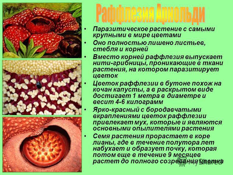 Паразитическое растение с самыми крупными в мире цветами Оно полностью лишено листьев, стебля и корней Вместо корней раффлезия выпускает нити-грибницы, проникающие в ткани растения, на котором паразитирует цветок Цветок раффлезии в бутоне похож на ко