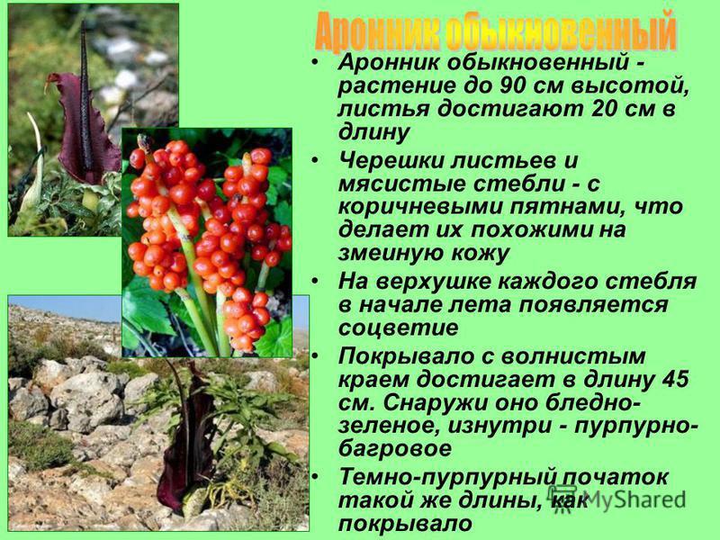 Аронник обыкновенный - растение до 90 см высотой, листья достигают 20 см в длину Черешки листьев и мясистые стебли - с коричневыми пятнами, что делает их похожими на змеиную кожу На верхушке каждого стебля в начале лета появляется соцветие Покрывало