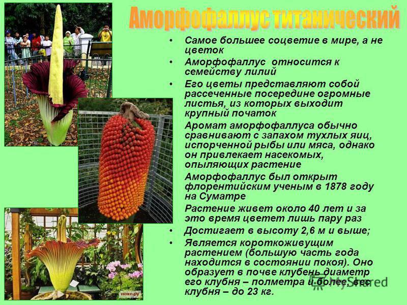 Самое большее соцветие в мире, а не цветок Аморфофаллус относится к семейству лилий Его цветы представляют собой рассеченные посередине огромные листья, из которых выходит крупный початок Аромат аморфофаллюса обычно сравнивают с запахом тухлых яиц, и