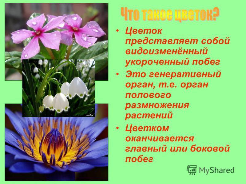 Цветок представляет собой видоизменённый укороченный побег Это генеративный орган, т.е. орган полового размножения растений Цветком оканчивается главный или боковой побег