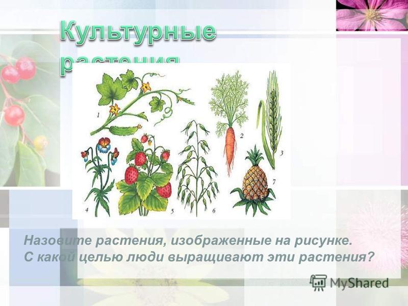 Назовите растения, изображенные на рисунке. С какой целью люди выращивают эти растения?