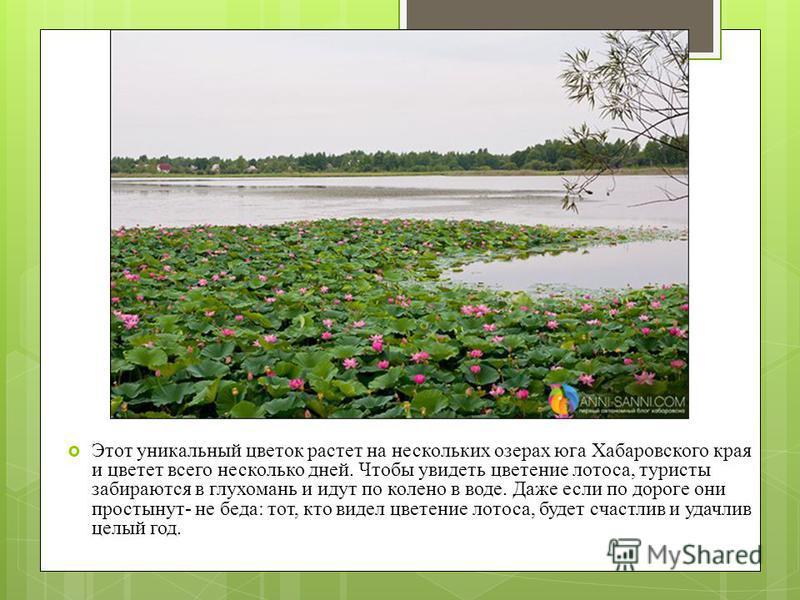 Этот уникальный цветок растет на нескольких озерах юга Хабаровского края и цветет всего несколько дней. Чтобы увидеть цветение лотоса, туристы забираются в глухомань и идут по колено в воде. Даже если по дороге они простынут- не беда: тот, кто видел