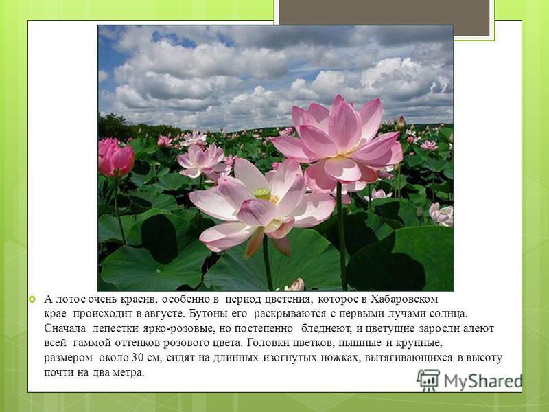 А лотос очень красив, особенно в период цветения, которое в Хабаровском крае происходит в августе. Бутоны его раскрываются с первыми лучами солнца. Сначала лепестки ярко-розовые, но постепенно бледнеют, и цветущие заросли алеют всей гаммой оттенков р