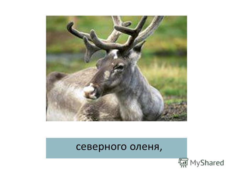 северного оленя,