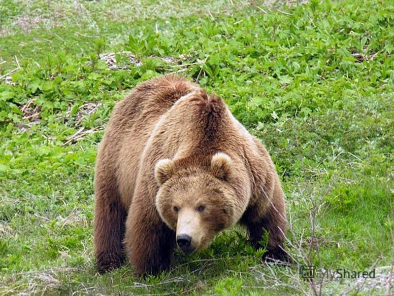 ЖИВОТНЫЕ Травоядные Хищники Всеядные (питаются растительной пищей) (питаются животной пищей) (питаются и растительной и животной пищей) лосиволкбурый медведь косулитигркабан олени лисица маралырысь зайцы