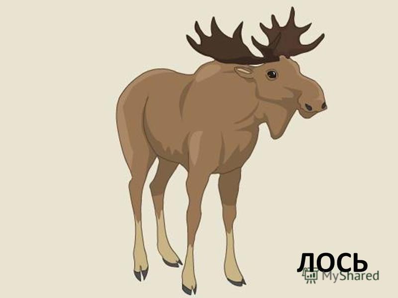 А сейчас мы более подробно познакомимся с некоторыми лесными жителями. Сообщения обучающихся: ЛОСЬ, РЫСЬ. После сообщения вам необходимо ответить на такие вопросы: 1. Чем питается это животное? 2. Это животное хищник, травоядное или всеядное?