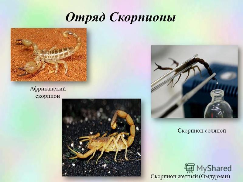 Африканский скорпион Отряд Скорпионы Скорпион соляной Скорпион желтый (Омдурман)