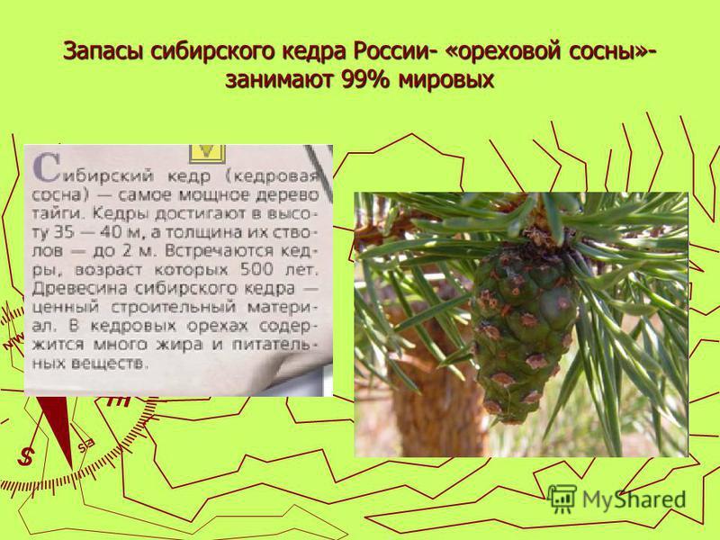 Запасы сибирского кедра России- «ореховой сосны»- занимают 99% мировых