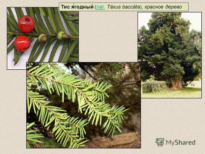 Тис я́годный (лат. Táxus baccáta), красное дерево лат.