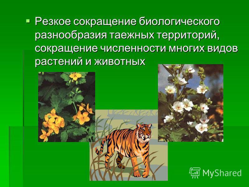 Резкое сокращение биологического разнообразия таежных территорий, сокращение численности многих видов растений и животных Резкое сокращение биологического разнообразия таежных территорий, сокращение численности многих видов растений и животных