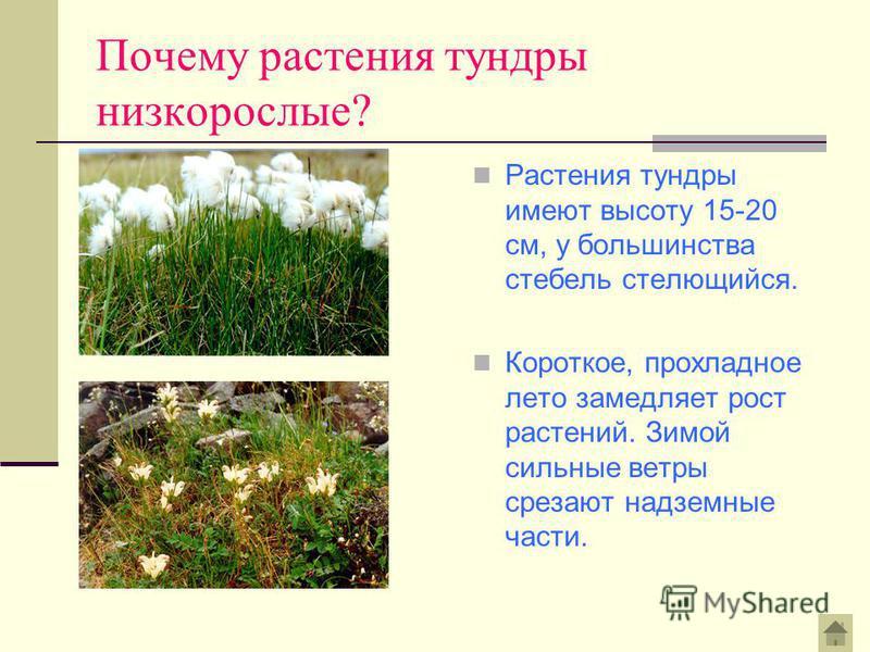 Почему растения тундры низкорослые? Растения тундры имеют высоту 15-20 см, у большинства стебель стелющийся. Короткое, прохладное лето замедляет рост растений. Зимой сильные ветры срезают надземные части.