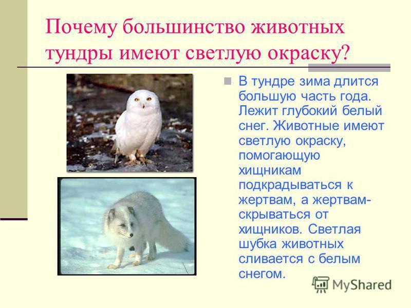 Почему большинство животных тундры имеют светлую окраску? В тундре зима длится большую часть года. Лежит глубокий белый снег. Животные имеют светлую окраску, помогающую хищникам подкрадываться к жертвам, а жертвам- скрываться от хищников. Светлая шуб