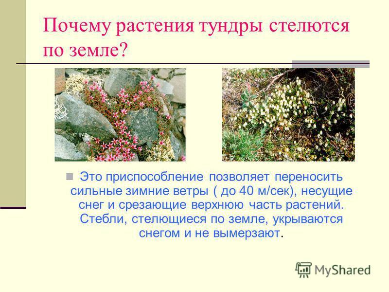 Почему растения тундры стелются по земле? Это приспособление позволяет переносить сильные зимние ветры ( до 40 м/сек), несущие снег и срезающие верхнюю часть растений. Стебли, стелющиеся по земле, укрываются снегом и не вымерзают.